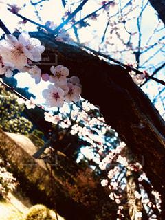 梅の木の写真・画像素材[3015022]