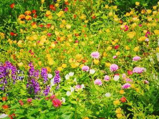 ワイルドフラワーの花畑の写真・画像素材[2342982]