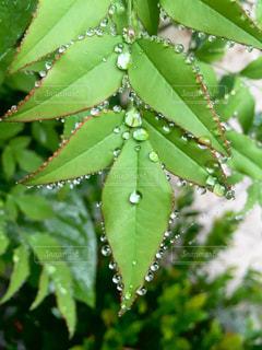 緑の植物のクローズアップの写真・画像素材[2268847]