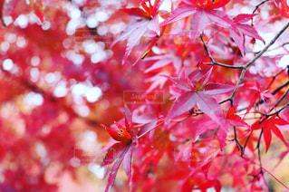 日本の紅の写真・画像素材[2513550]