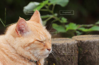 猫,動物,かわいい,茶色,ねこ,ペット,寝顔,外,癒し,ネコ