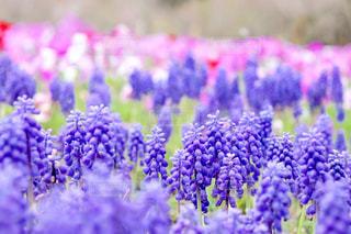 鮮やかなムスカリの紫の写真・画像素材[3029878]