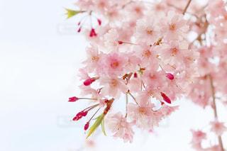 花,春,桜,木,ピンク,植物,花見,お花見,イベント,桃色,草木,桜の花,チェリーブロッサム,春の花,さくら