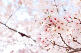 満開の桜の写真・画像素材[3048768]