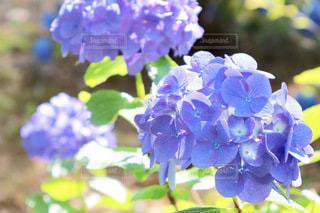 綺麗な淡い紫の写真・画像素材[3378066]