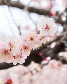 満開の梅の写真・画像素材[4232217]