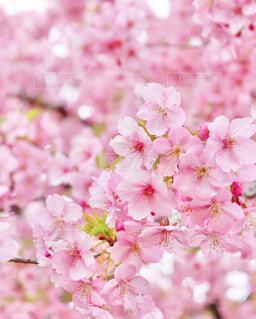 お花見日和の写真・画像素材[4232259]