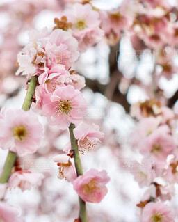 かわいい梅の花の写真・画像素材[4258062]