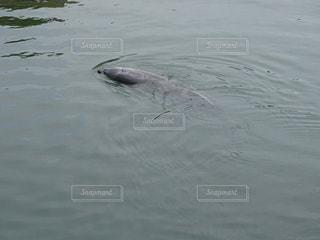 海,屋外,イルカ,晴れ,晴天,水面,泳ぐ