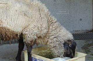 ふわふわ羊の写真・画像素材[2283684]