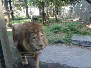 近づいてくるライオンの写真・画像素材[2283690]