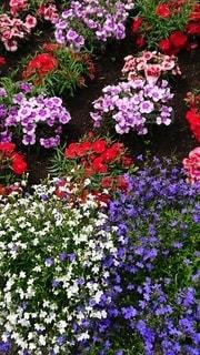 たくさんの色の花でいっぱいの写真・画像素材[2350115]