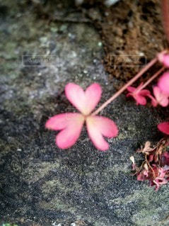自然,ピンク,植物,草,草花,ハート,マーク,3,カタバミ,クリーム色,かたばみ,3つ葉,片喰