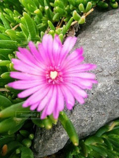 花,屋外,ピンク,フラワー,ハート,地面,桃色,マーク,花芯,松葉菊,マツバギク,フローラ