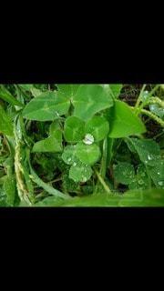 自然,雨,屋外,緑,葉,草,ハート,シロツメクサ,白詰草,雨粒,マーク