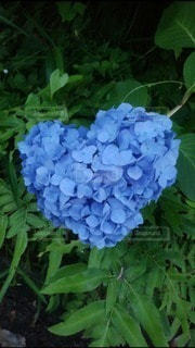 花,屋外,緑,青,ハート,紫陽花,ブルー,草木,マーク,アジサイ,フローラ