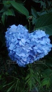 自然,花,屋外,緑,青,水色,ハート,紫陽花,草木,マーク,アジサイ,フローラ