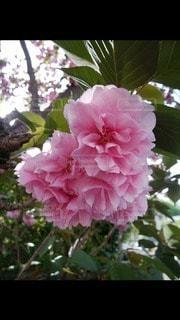 花,桜,ピンク,樹木,ハート,八重桜,マーク,ブロッサム,フローラ