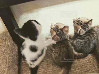 仲良し3匹の子ネコの写真・画像素材[2323983]