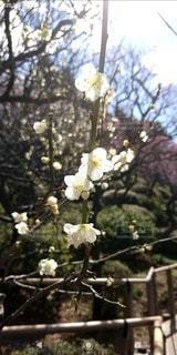 池上梅園の梅の花の写真・画像素材[3015944]