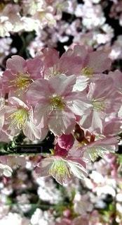 花,春,さくら