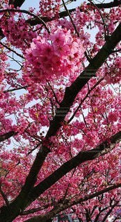花,春,桜,はな,桜の花,さくら