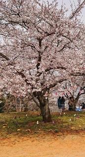 花,春,桜の花,さくら
