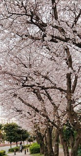 花,春,サクラ,桜の花,さくら,ブロッサム