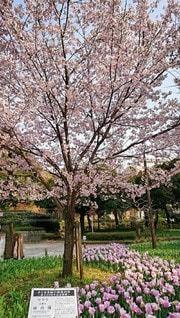 公園,花,春,桜の花,さくら,ブロッサム