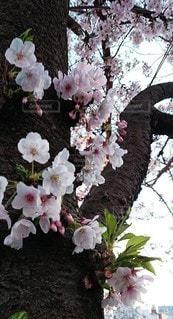 花,さくら,ブロッサム,さくらの木