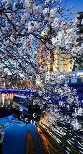花,川,夜桜,さくら