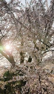 花,春,桜の花,さくら,ブロッサム