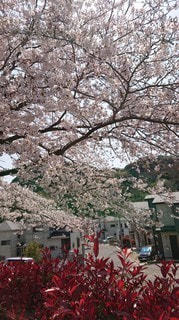 花,春,はな,桜の花,さくら,ブロッサム