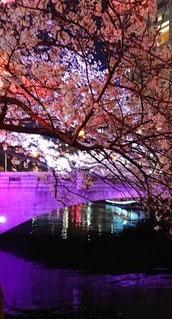 水面,夜桜,さくら