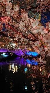 花,水面,夜桜,さくら