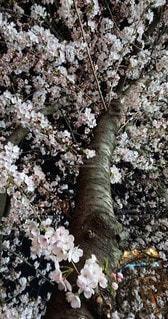 花,さくら,さくらの木