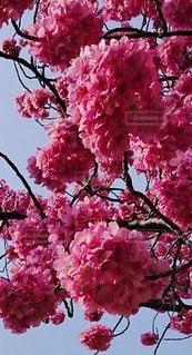 花,春,ピンク,鮮やか,桜の花,さくら,ブロッサム