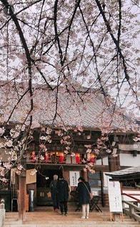 花,春,桜の花,さくら,ブロッサム,梅照院