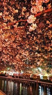 春,桜,夜桜,ライトアップ,はな,さくら