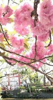 花,さくら,ブロッサム