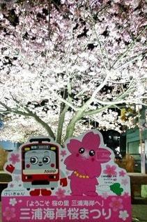 夜桜,河津桜,三浦海岸,さくら