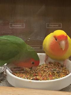 仲良くご飯食べてるインコの写真・画像素材[2314941]