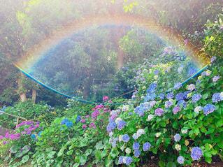 晴れた日の紫陽花散歩の写真・画像素材[2282580]