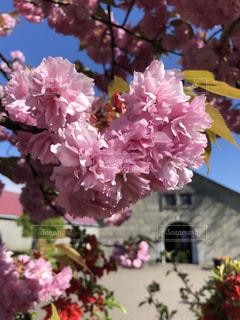 桜,ピンク,かわいい,青空,満開,ハート,モコモコ,キレイ