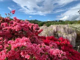 野原の大きなピンクの花の写真・画像素材[2280061]