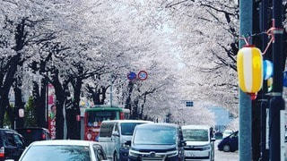 桜並木の写真・画像素材[2280177]