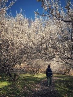 梅の写真・画像素材[2280184]