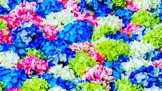 紫陽花の絨毯の写真・画像素材[2345335]