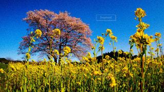 桜道の写真・画像素材[2353877]