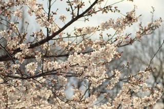 花,春,屋外,枝,葉,花見,景色,樹木,関東,草木,桜の花,さくら,ブロッサム,梅林公園